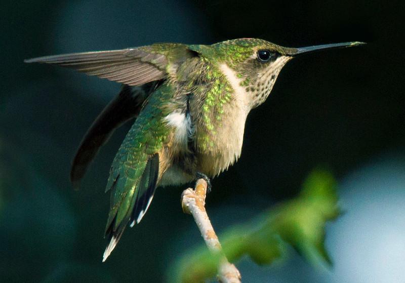 hummingbirdonmulberrytwig11.jpg