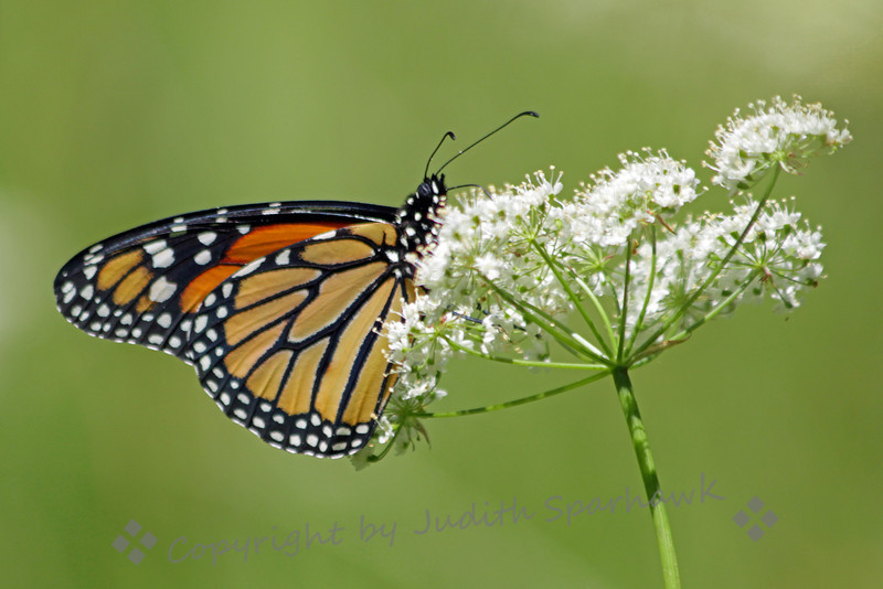 Monarch Butterfly ~ This photograph was taken at Chevron Meadow, Yosemite National Park.