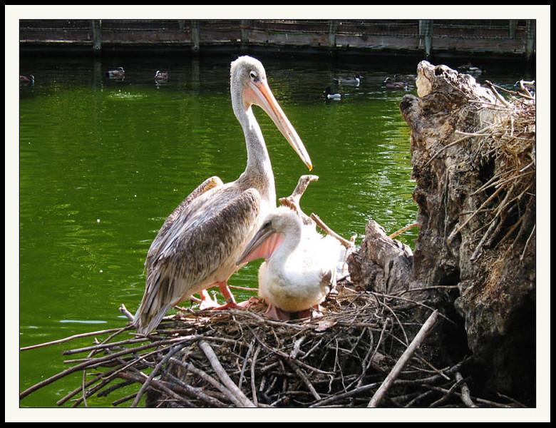 Nesting Pelicans.jpg