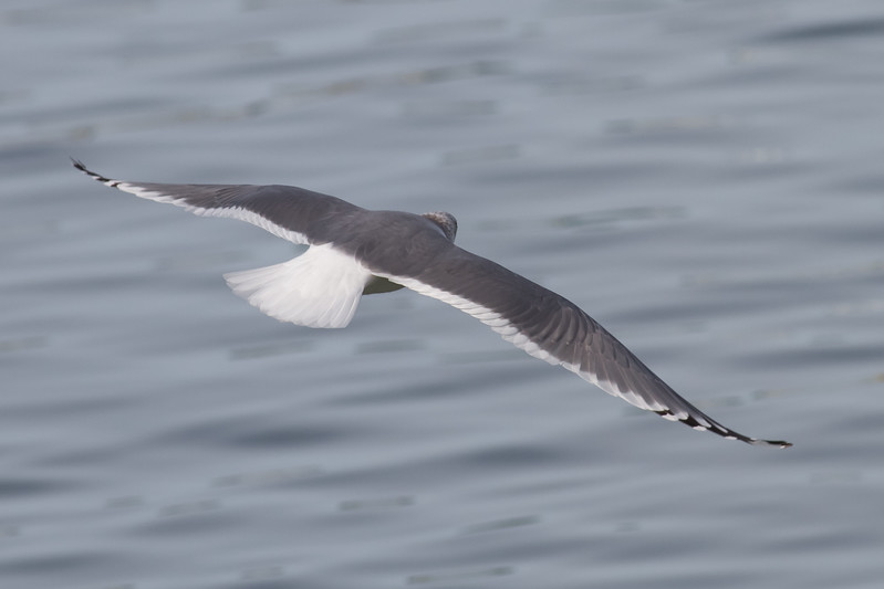 Mew Gull Adult - Note the lighting can make the back appear dark, but this IS a Mew gull