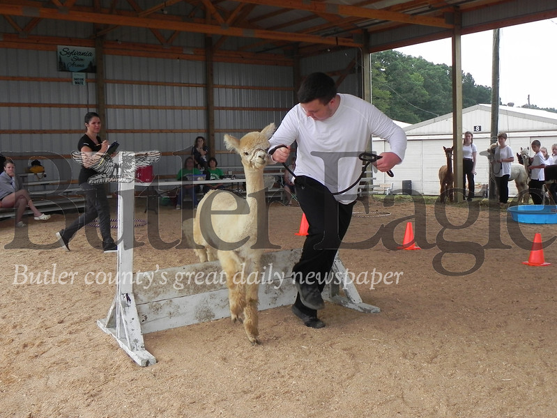 Moniteau High School junior Andersen Brunst, 17, a 4-H and FFA member, jumps over a hurdle with his alpaca Haldor in the 4-H Alpaca Showmanship and Obstacle Course at the Butler Farm Show. Photo by Gabriella Canales.