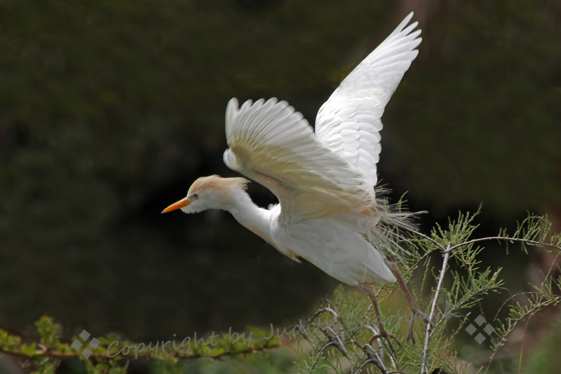 Cattle Egret Lift Off ~ This Cattle Egret was photographed in the San Diego area.  The egrets were feeding, nest building, and sitting on eggs nearby.