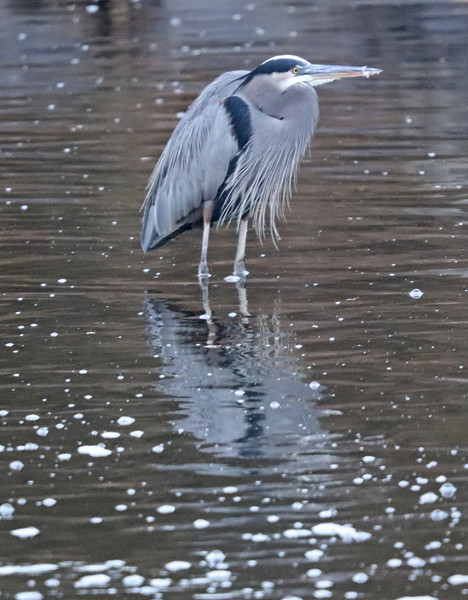 Great blue heron with long beard