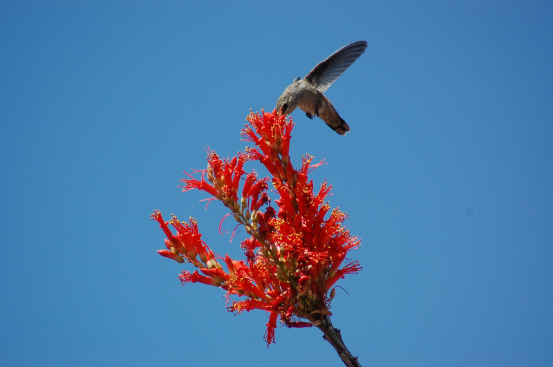 20130425_Hummingbird_008.JPG
