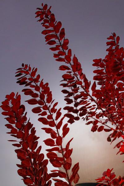 Red leaves in November