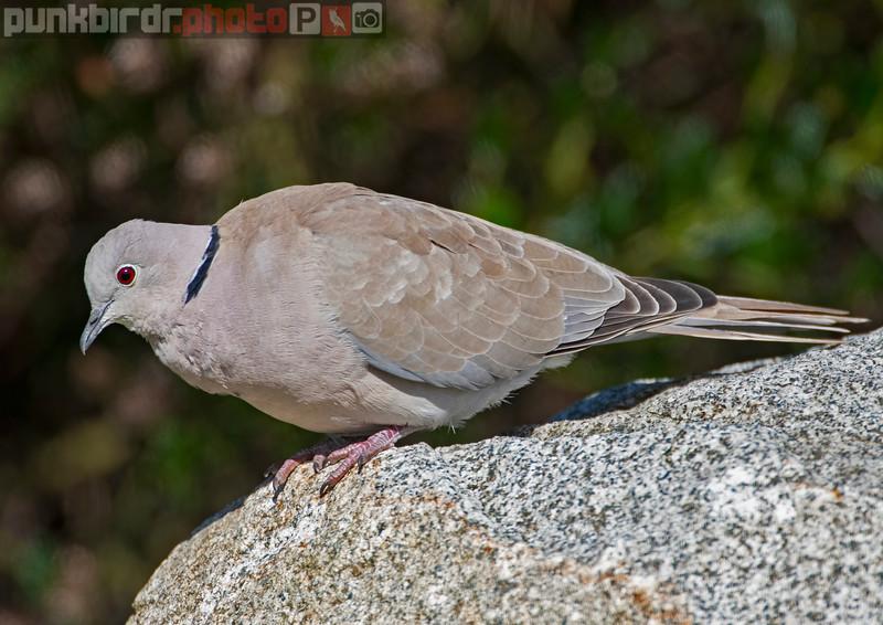 Eurasian Collared-Dove (Streptopelia decaocto)