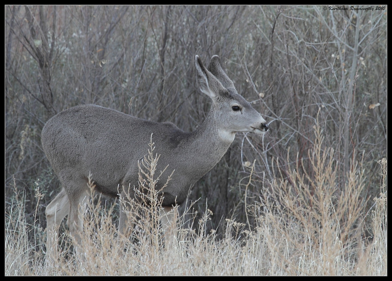 Mule Deer in the early morning along the road to Bosque Del Apache, Socorro, New Mexico, November 2010