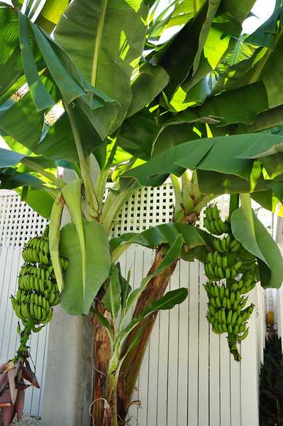 Bananas growing in our neighboorhood in Key West. To grow a banana tree it takes tropical weather (no colder than 57 degrees) and up to 16 months to harvest a ripe banana.