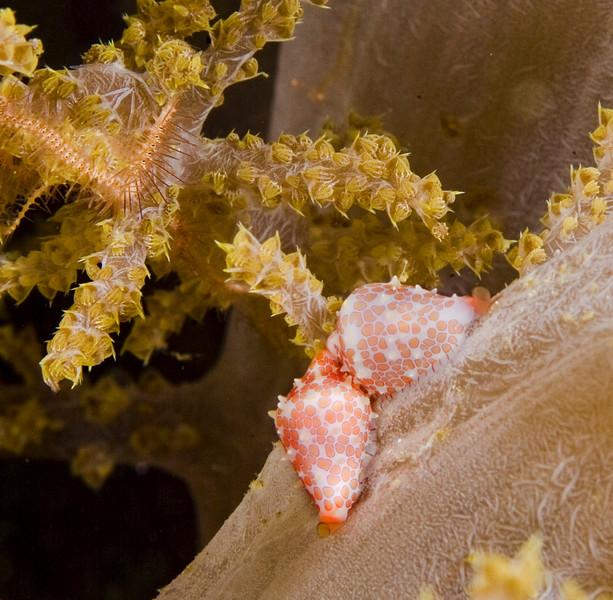 mollusk cowrie (1).jpg
