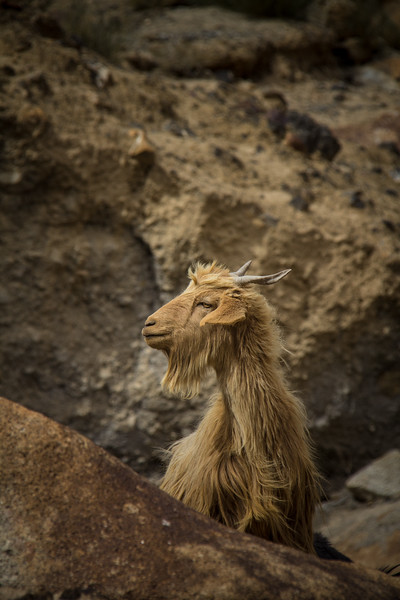 Genevieve Hathaway_Shimshal_Kutch Festival_golden goat.jpg