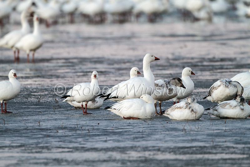 Ross's Geese, Chen rossii, and Snow Geese, Chen caerulescens, Bosque del Apache National Wildlife Refuge, New Mexico, USA, North America