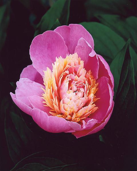 Peoneas  pink .jpg