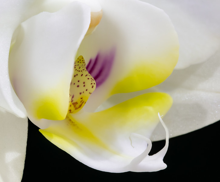 Orchid Phalaenopsis Hybrid--3.jpg