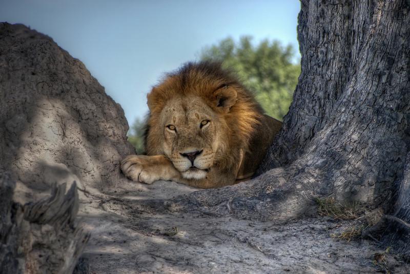 Mark-Fletcher-Lion at Rest.jpg