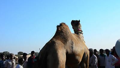 6. NAGAUR CAMEL FESTIVAL, INDIA