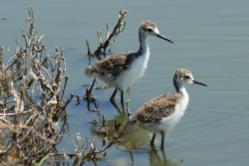 Stilt Chicks.JPG