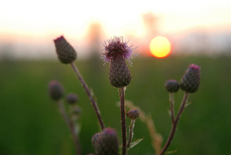 thistle at sunset (12) ed.jpg