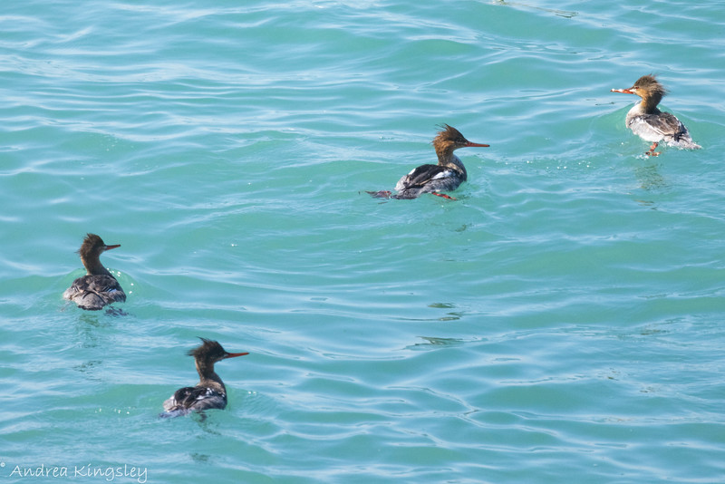 Red-breasted Merganser , in Area 2 (Photo by Andrea Kingsley)
