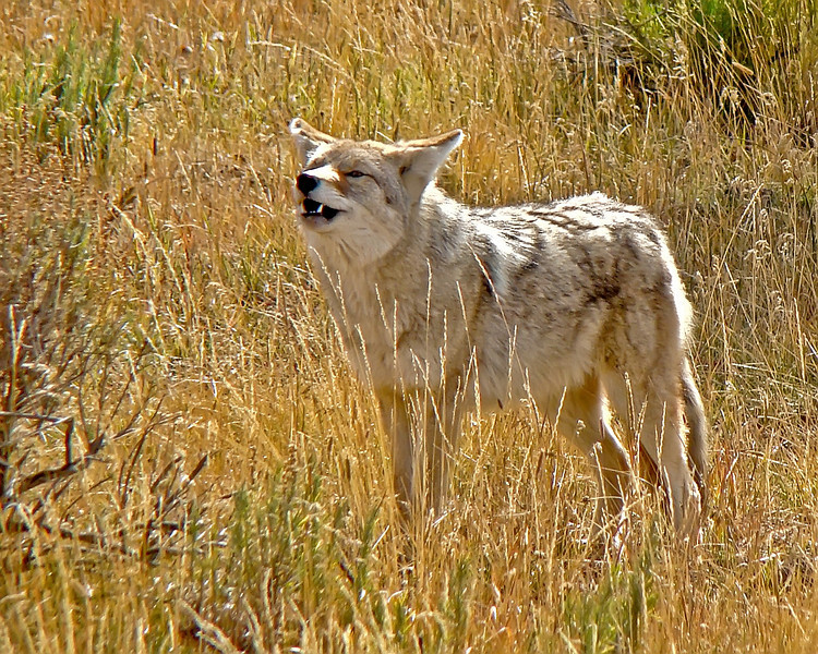 Coyote, Indian Creek, Yellowstone 3.jpg