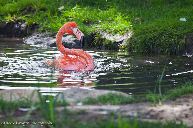 A Chilean Flamingo at the Calgary Zoo.