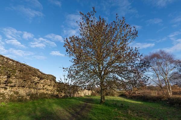 Ash Tree Study