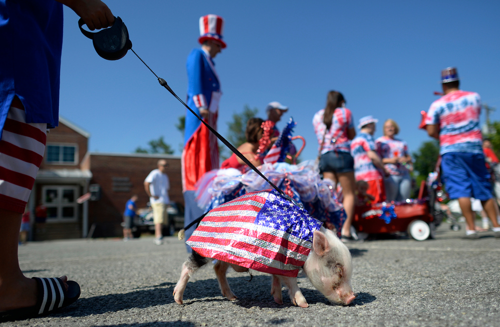 Description of . Porkchop, a miniature pot-bellied pig, lines up to participate in the Fourth of July parade in Mebane, N.C., Friday, July 4, 2014. (AP Photo/The Times-News, Scott Muthersbaugh)
