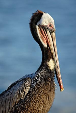 Pelicant, La Jolla Cove 4.jpg