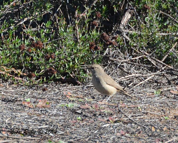 Rock Wren - 12/29/2014 - Ramona Grasslands Preserve, Ramona