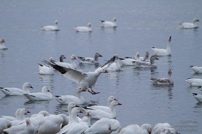 2013-03-30 Snow Geese Migration