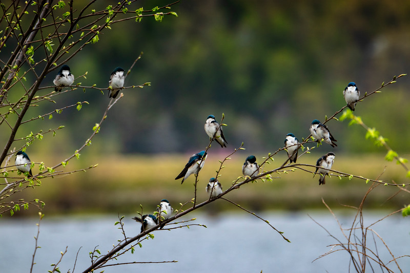 4.17.19 - Blackburn Creek Fish Nursery: Tree Swallows