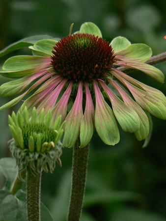 Echinacea 'Green Envy' .jpg