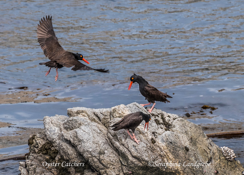 _DSC0177Oyster Catchers.jpg