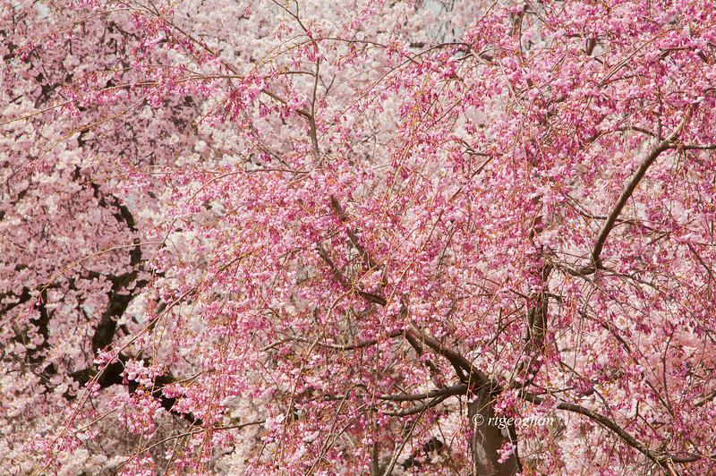 April 16_BranchBrookCherryBlossoms_7395.jpg