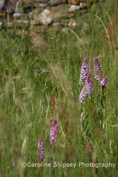 Mendip Orchids