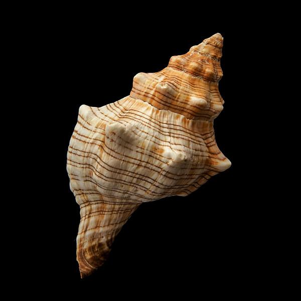 Trapezium Horse Conch shell
