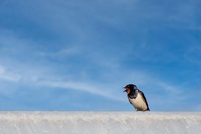 Låvesvale (Barn swallow)