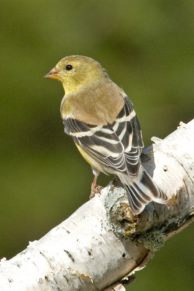 Goldfinch - American - female - Itasca County, MN