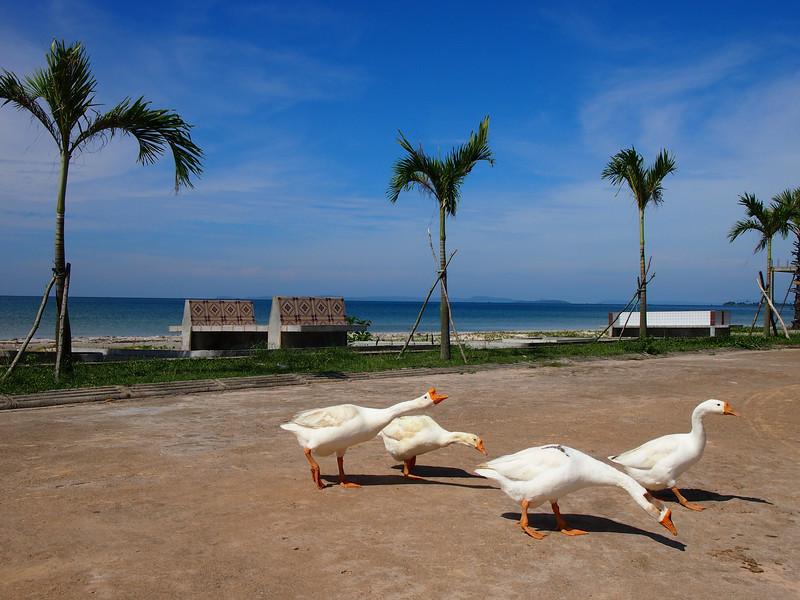 PB143601-beach-geese.JPG