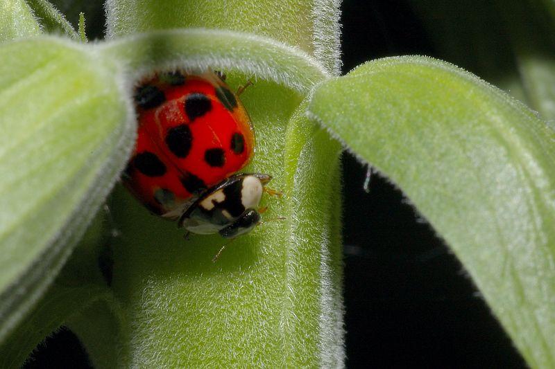 Southern Ladybug.