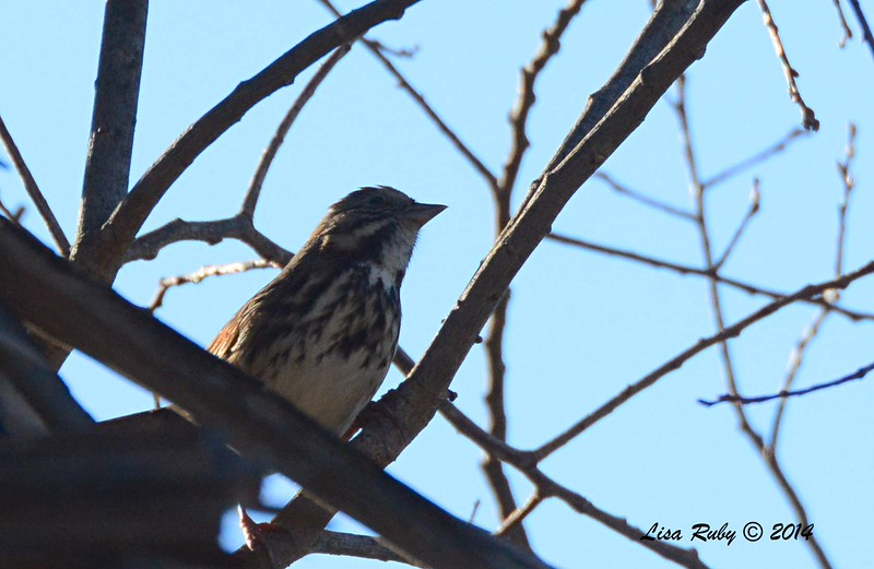 Fox Sparrow - 12/09/2014 - Poway Creek