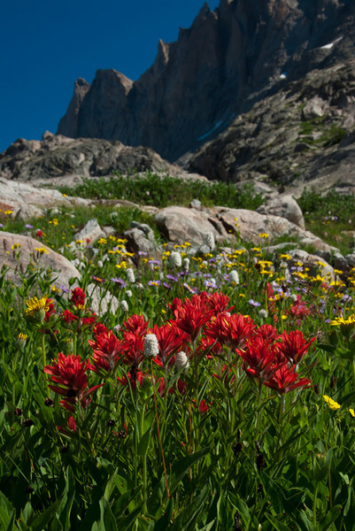 Amazing Indian Paintbrush - State flower of Wyoming (red flower).