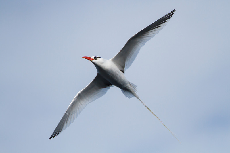 Red-billed Tropicbird at Prince Phillip's Steps, Genovesa, Galapagos, Ecuador (11-25-2011) - 286.jpg