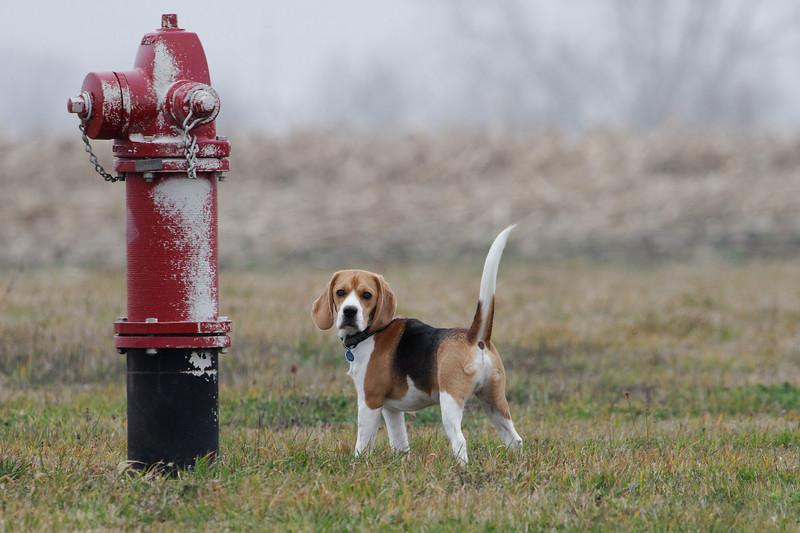 Hydrant Beagle