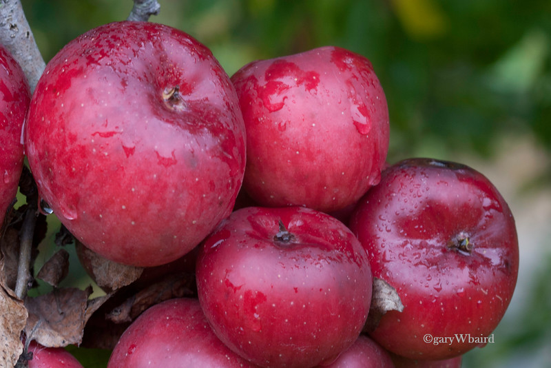 Apple Tree in the Rain