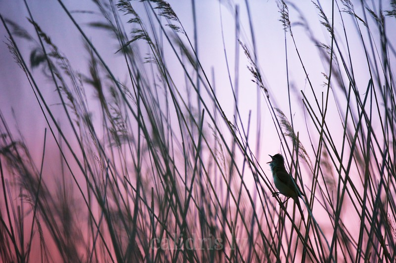 Silhouette of great reed warbler singing in sunset from reeds