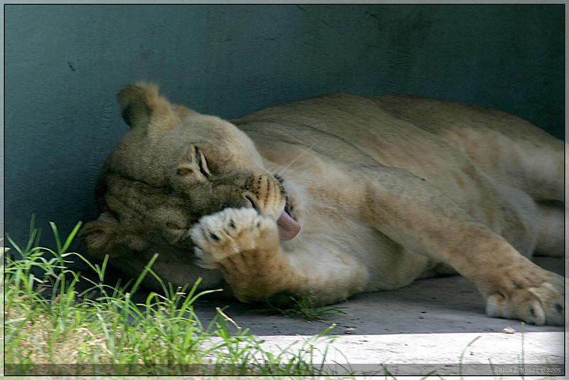 131_PalmBeach_LionCountry_July2005.jpg