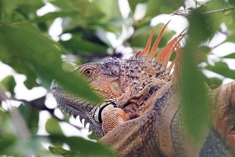 iguanainatree1.jpg
