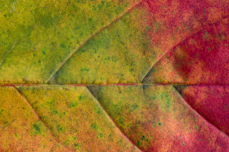Green-Red-Leaf.jpg