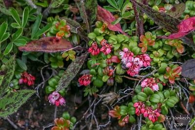 Cowberry (Partridgeberry),  Vaccinium vitis-idaea