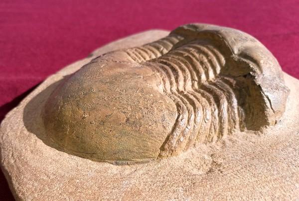 #8232 Ectillaenus benignensis (9,4 cm)